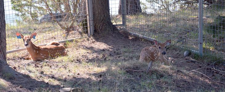 Skeppsdalin löytöeläinkodin hoidossa olevat peuranvasat ovat jääneet orvoiksi. Toisen emo ei palannut vasan luokse säikähdettyään koiria ja toinen löytyi yksin maantieltä.